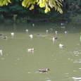 中央公園大沼の鴨