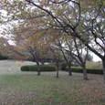Photo_31月出松公園の紅葉 落葉