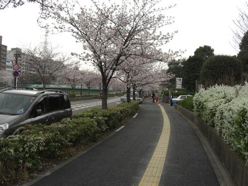 2008_0329 病院前桜並木