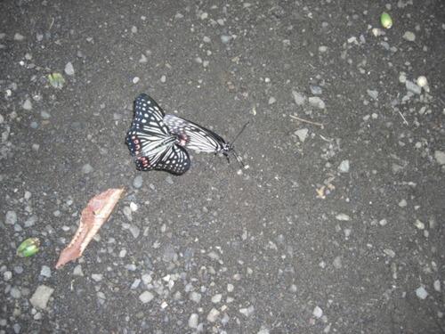 蝶のカップル・おとりこみ中