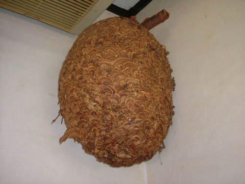 すずめ蜂の巣