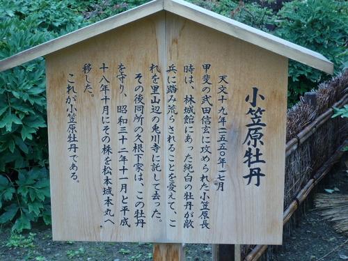 小笠原牡丹