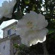 2007_1113白い椿